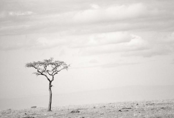 Acasia Tree